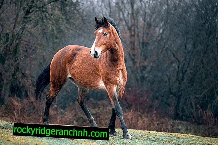 Popis koně Mustang