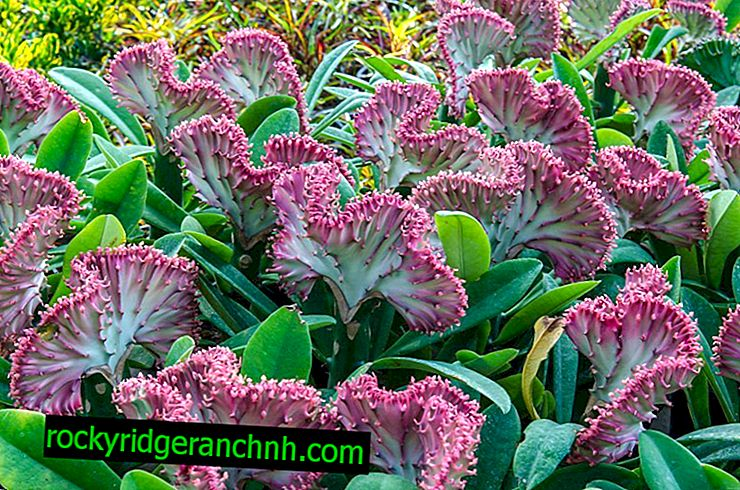 Sådan plejes mælkevamp Euphorbia Laktea derhjemme