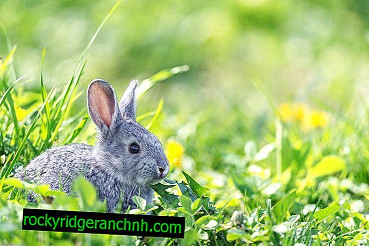Как да се лекува глисти при зайци