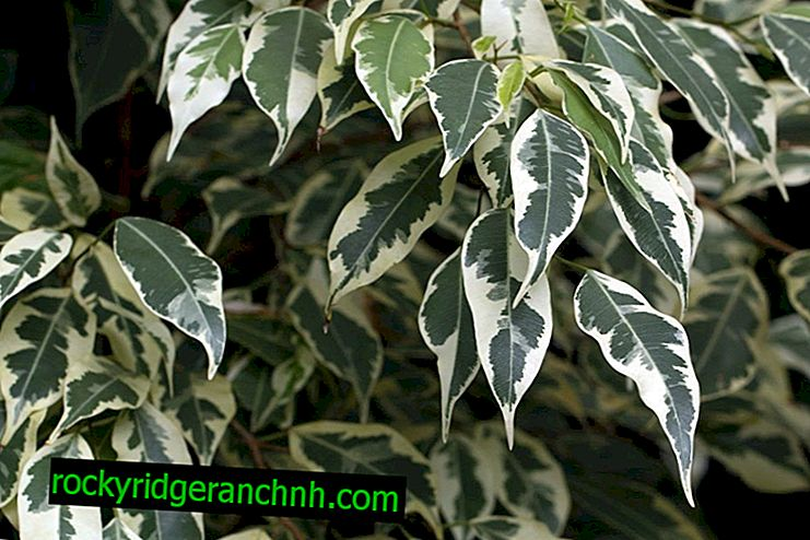Care for variegated ficus