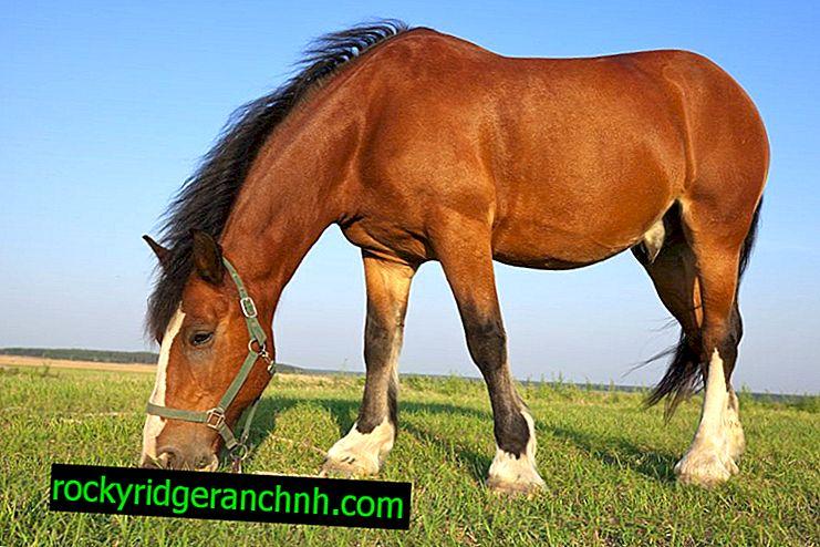 Opis pasme Baškir konj