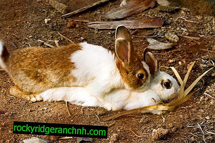 Parende konijnen