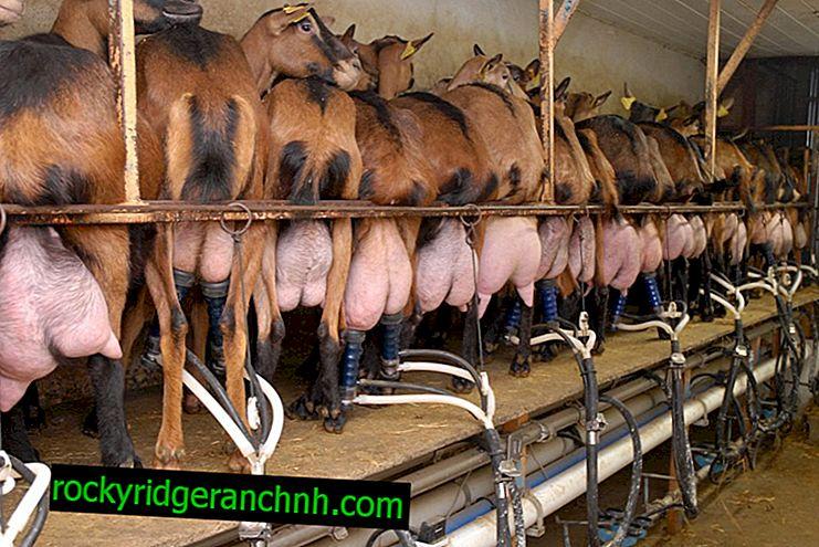 Tips för att göra en mjölkningsmaskin för get