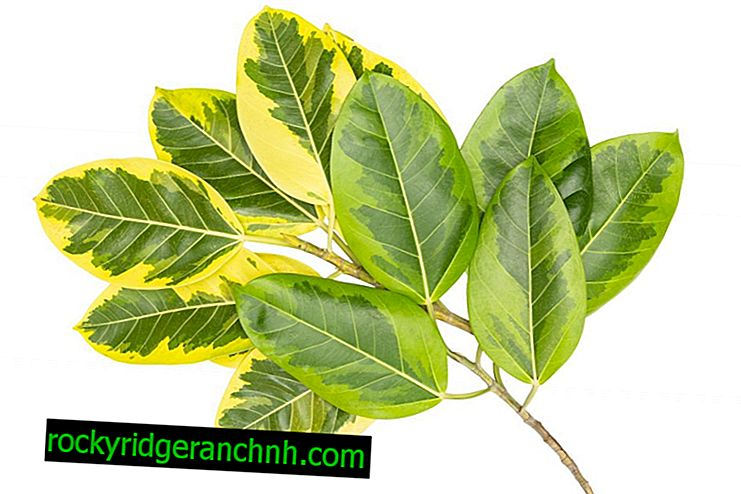 Kako skrbeti za Ficus Elastica