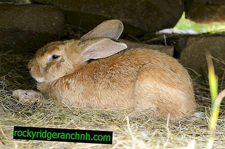 Forskellige kødopdræt af kaniner