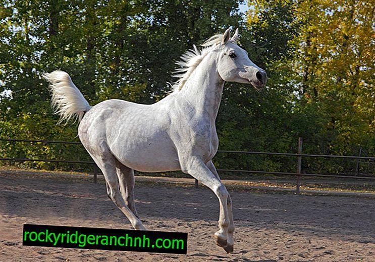 Vrste konja u galopu